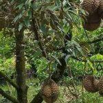 3 Jenis Durian Cepat Berbuah yang Bisa Anda Tanam di Halaman Rumah
