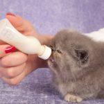 4 Merek Susu Yang Bagus Untuk Anak Kucing Persia